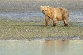 Grizzly Bear ( Urus arctos horribilis) — Stock Photo