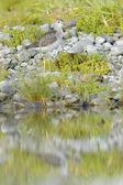 Common Greenshank (Tringa nebularia) — ストック写真