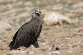Monk vulture — Stock Photo