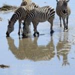 Постер, плакат: Zebra herd