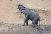 Elephant (Loxodonta africana) — Stock Photo