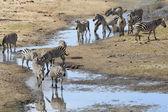 Zebra besättning — Stockfoto