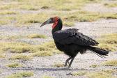 Hornbill macinato — Foto Stock