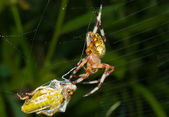 Spider with grasshopper — Stock Photo