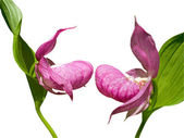 Flowers of Lady's Slipper — Stock Photo