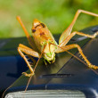 Stock Photo: Grasshopper