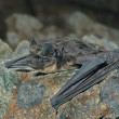 Bat on stone — Stock Photo #14290027