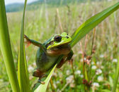 Hyla frog — Stock Photo
