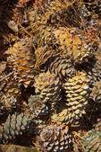 Cones of cedar pine — Stock Photo