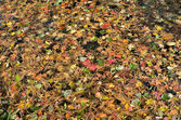 Autumn leaves on water — Stock Photo