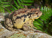 Toad (Bufo gargarizans) — Stock Photo