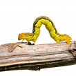 Spanworm (Caterpillar of Geometer) - Stock Photo