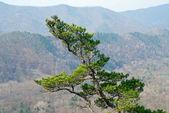 Superiore del pino — Foto Stock