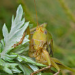 Stock Photo: Grasshopper 20