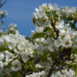 Stock Photo: Blooming Pear