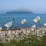 White Poppy at Sea — Stock Photo