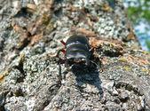 Stag-Beetle — Стоковое фото