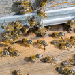 Bees on hive  — Stock Photo