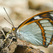 Butterfly (Apaturschrencki) — Stock Photo #18207853