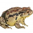 Toad (Bufo gargarizans) — Stock Photo #18503009