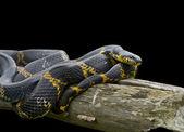 Snake (Elaphe schrenckii) — Stock Photo