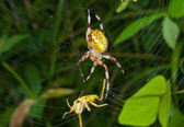 Spider with grasshopper — Stock Photo
