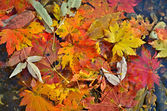 Autumn leaves on water — Stock Photo