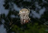 Spider on spider-web — Stock Photo