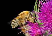 Bumblebee on flower — Stock Photo
