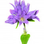 Blue flowers (Campanula cephalotes) — Stock Photo #22175779