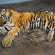Stock Photo: Dead young tiger