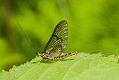 Mayfly (Ephemeroptera) — Stock Photo