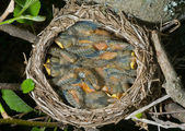 Nest of thrush — Stock Photo