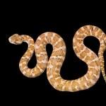 Постер, плакат: Venomous snake