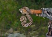 Snake (Agkistrodon saxatilis) — Foto Stock