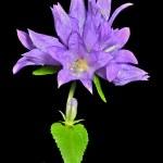 Blue flowers (Campanula cephalotes) — Stock Photo #24442257