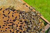 Bijen op de honingraat — Stockfoto