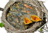 Nest von soor — Stockfoto
