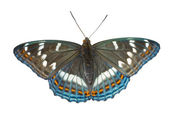 Butterfly (Limenitis populi ussuriensis) — Stock Photo
