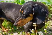 Borsuk pies — Zdjęcie stockowe