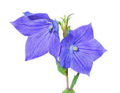 Bellflower (Platycodon grandiflorus) — Stock Photo