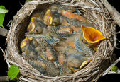 Nest van lijsters — Stockfoto