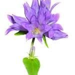 Blue flowers (Campanula cephalotes) — Stock Photo #25790163