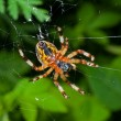 Spider on spider-web — Stock Photo