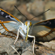 Butterfly (Apatura schrencki) — Stock Photo