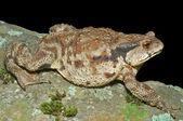 Toad (Bufo gargarizans) — Fotografia Stock
