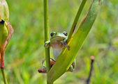 Hyla (tree toad) — Stock Photo