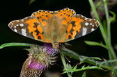 Butterfly (Vanessa cardui) — Stock Photo