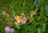 Flirtation of spiders — Stock Photo