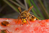 Hornet on watermelon — Stock Photo